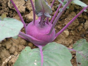kohlrabi_vegetables_violet